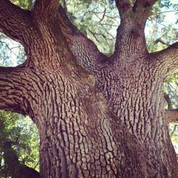 Acorn-Riddled Tree